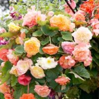 Begonia Seeds - Parisienne Trailing Mixed
