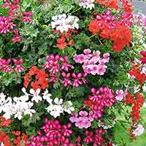 Geranium Trailing Mix Plants - Our Selection