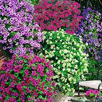 Trailing Petunia Plants - Our Selection