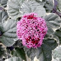 Clerodendrum bungei Plant - Pink Diamond