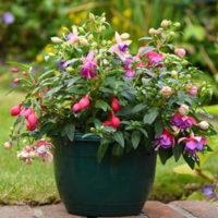 Fuchsia Trailing Pre-Planted Patio Pot